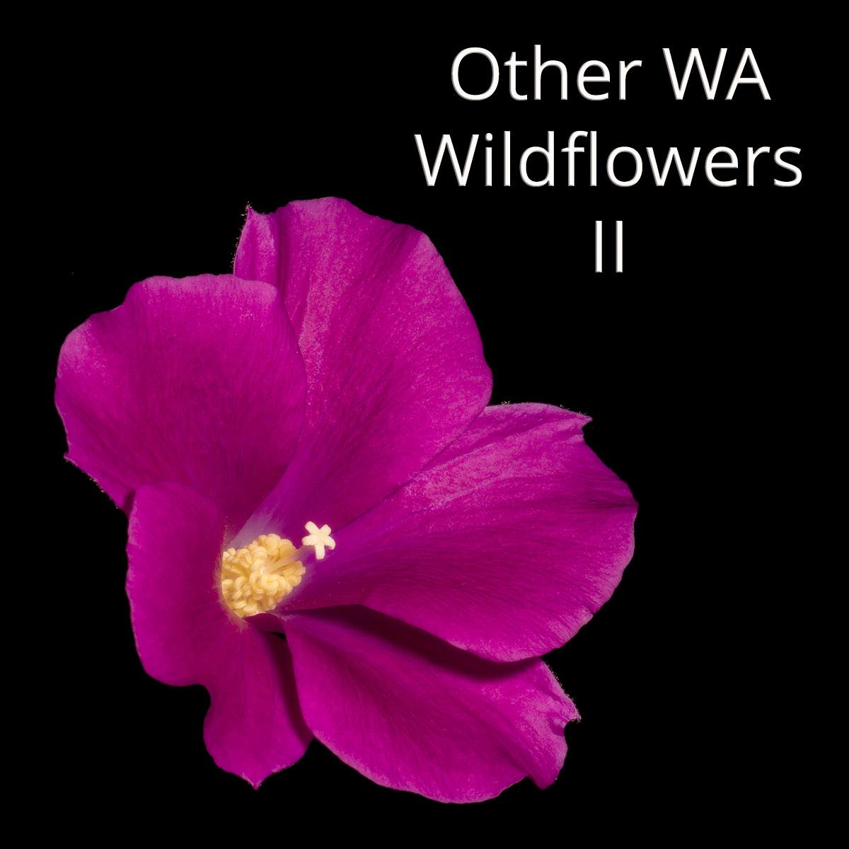 South west WA wildflower: lilac hibiscus (Alyogyne huegelii)