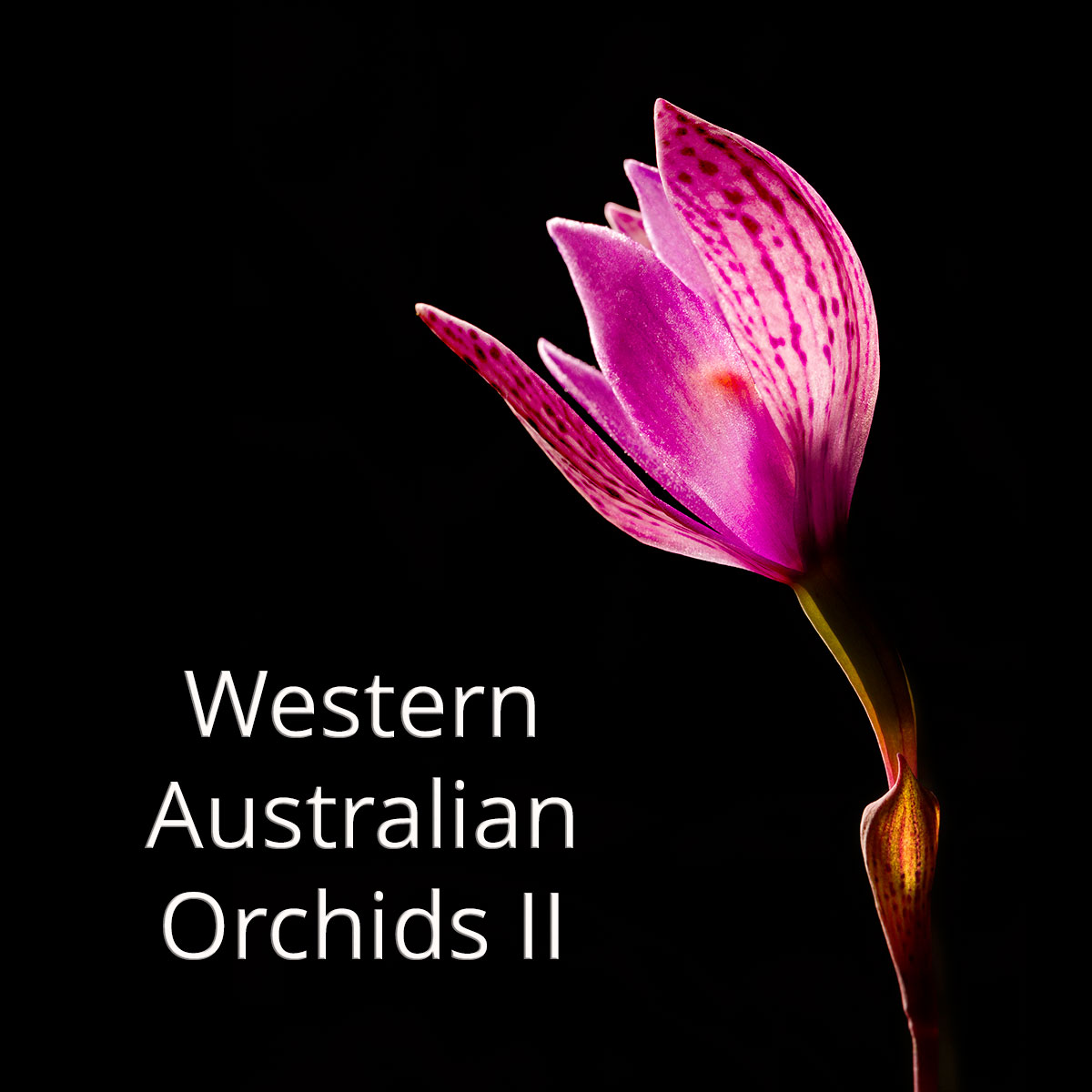 WA orchids gallery II (image: eastern curly locks, Thelymitra maculata)