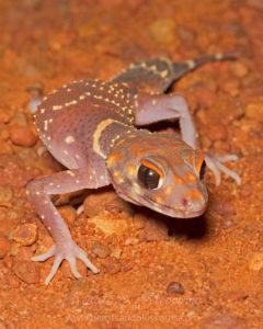 South west WA wildlife: barking gecko (Underwoodisaurus milii)
