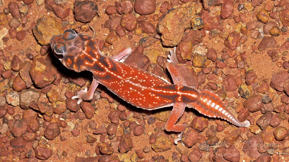 WA wildlife: knob-tailed gecko (Nephrurus sp.)