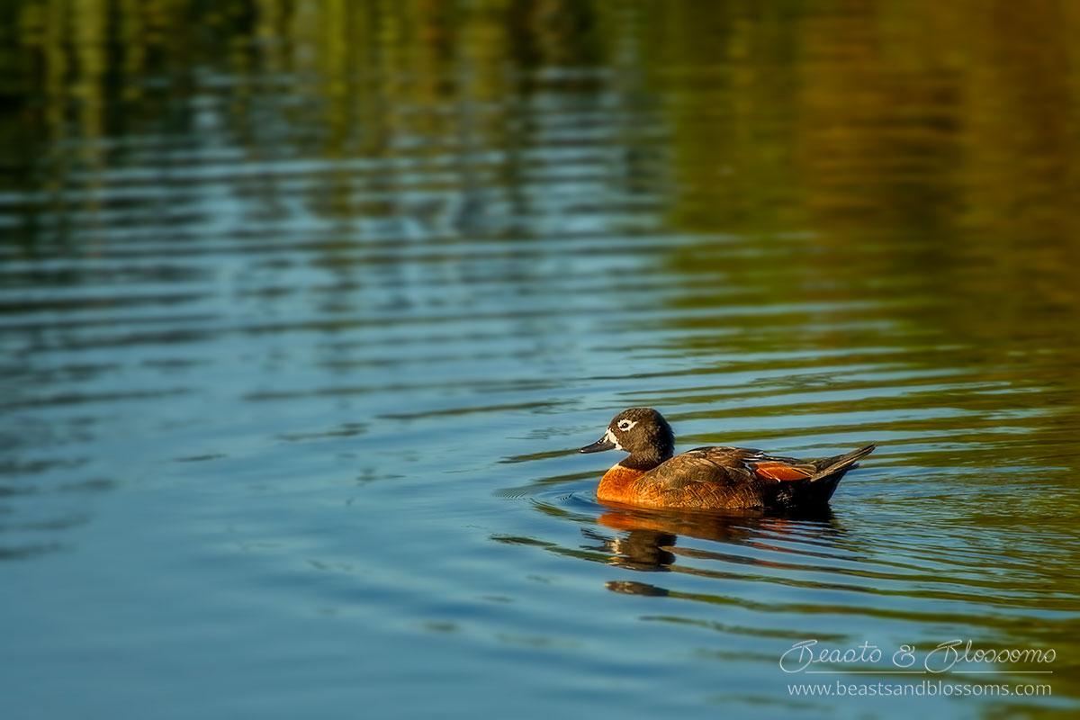 South west WA wildlife: Australian shelduck (Tadorna tadornoides)