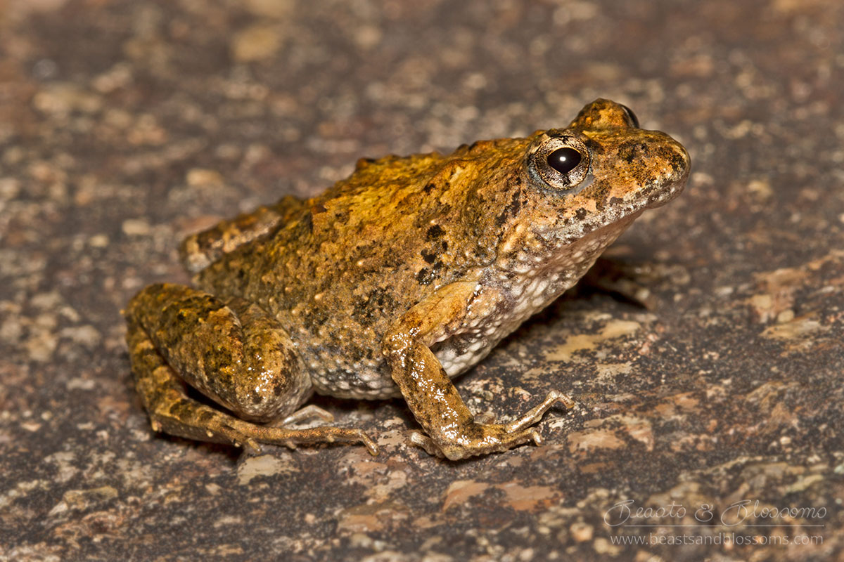 South west WA wildlife: bleating froglet (Crinia pseudinsignifera)