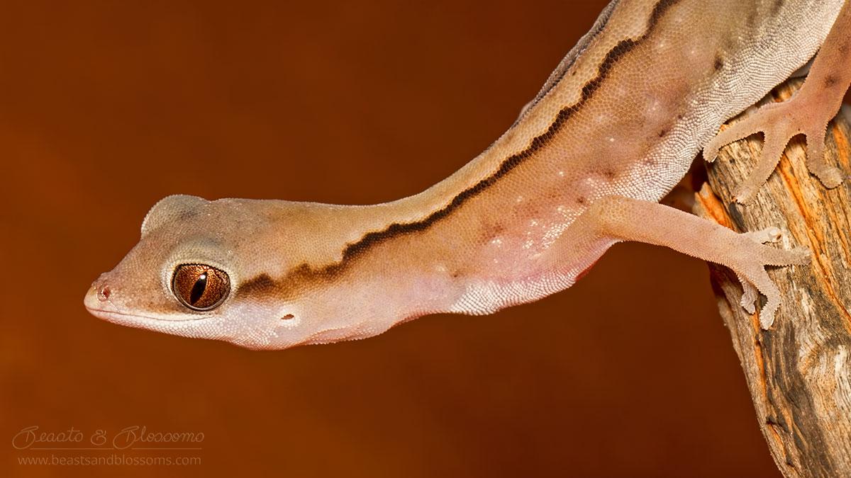 WA wildlife: gecko (Diplodactylus sp.)