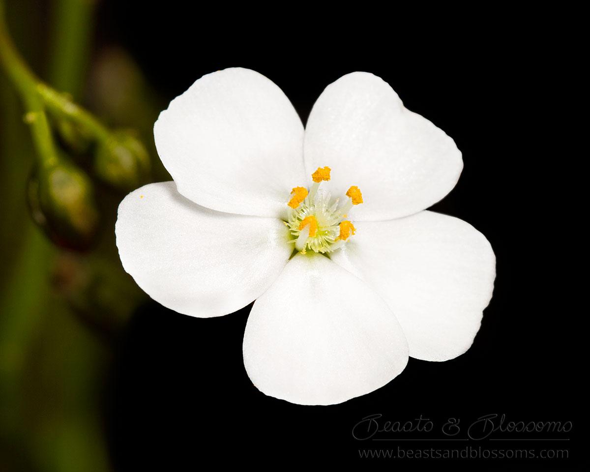 South west WA wildflower: climbing sundew (Drosera macrantha)