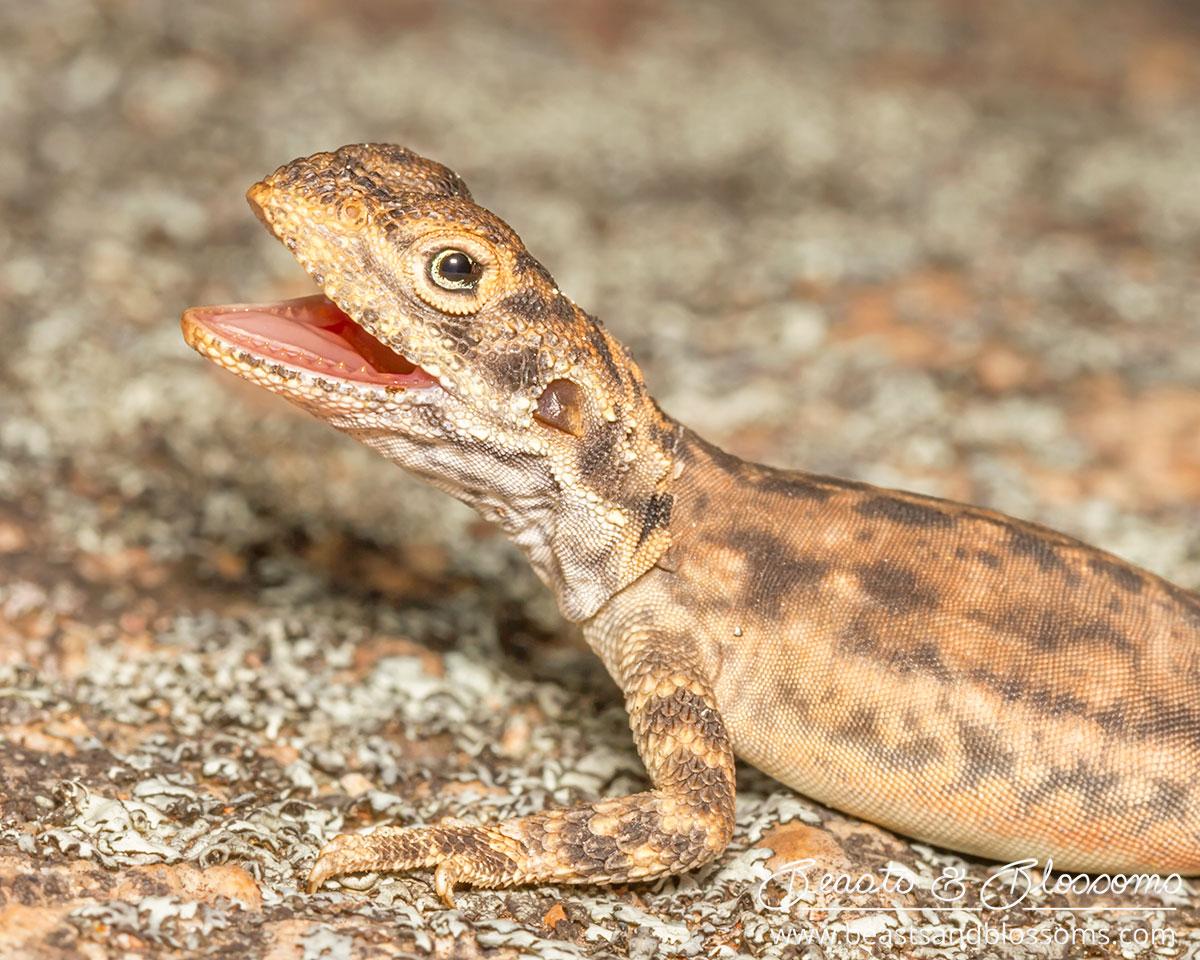 WA wildlife: ornate crevice dragon (Ctenophorus ornatus)