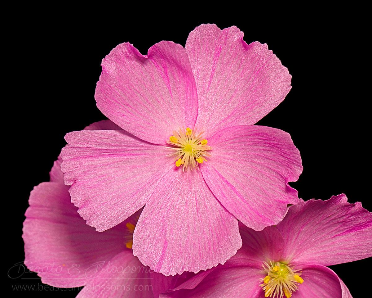 South west WA wildflower: pink rainbow sundew (Drosera menziesii)