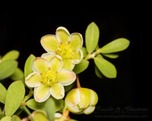 South west WA wildflower