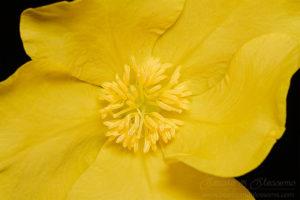 South west WA wildflower: cutleaf hibbertia (Hibbertia cuneiformis)