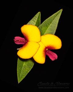South west WA wildflower: pea flowers
