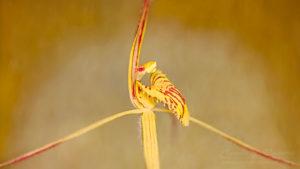 South west WA wildflower: Cape spider orchid (Caladenia caesarea maritima), threatened (Critically Endangered) flora