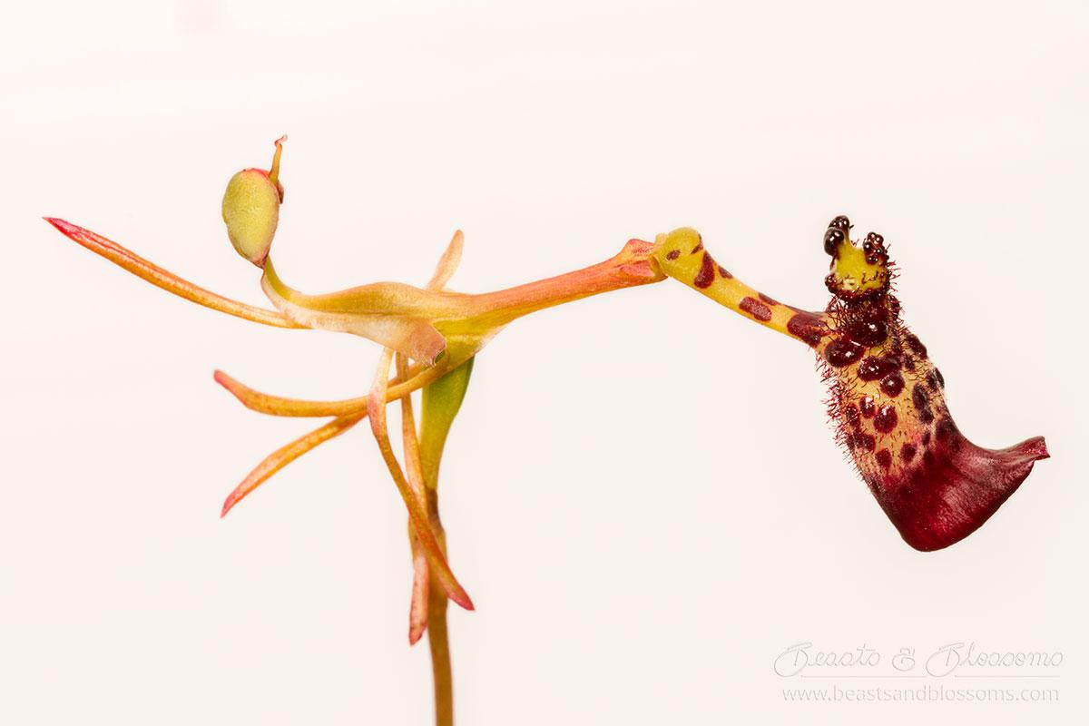 South west WA wildflower: warty hammer orchid (Drakea livida)