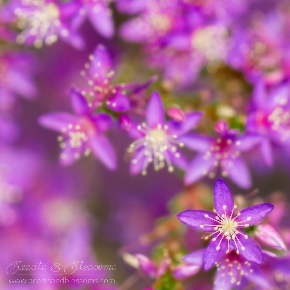 South west WA wildflower: posy starflower (Calytrix leschenaultii)
