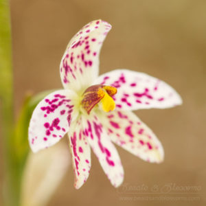 South west WA wildflower: swamp sun orchid (Thelymitra cucullata)