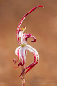 South west WA wildflower: winter spider orchid (Caladenia drummondii)