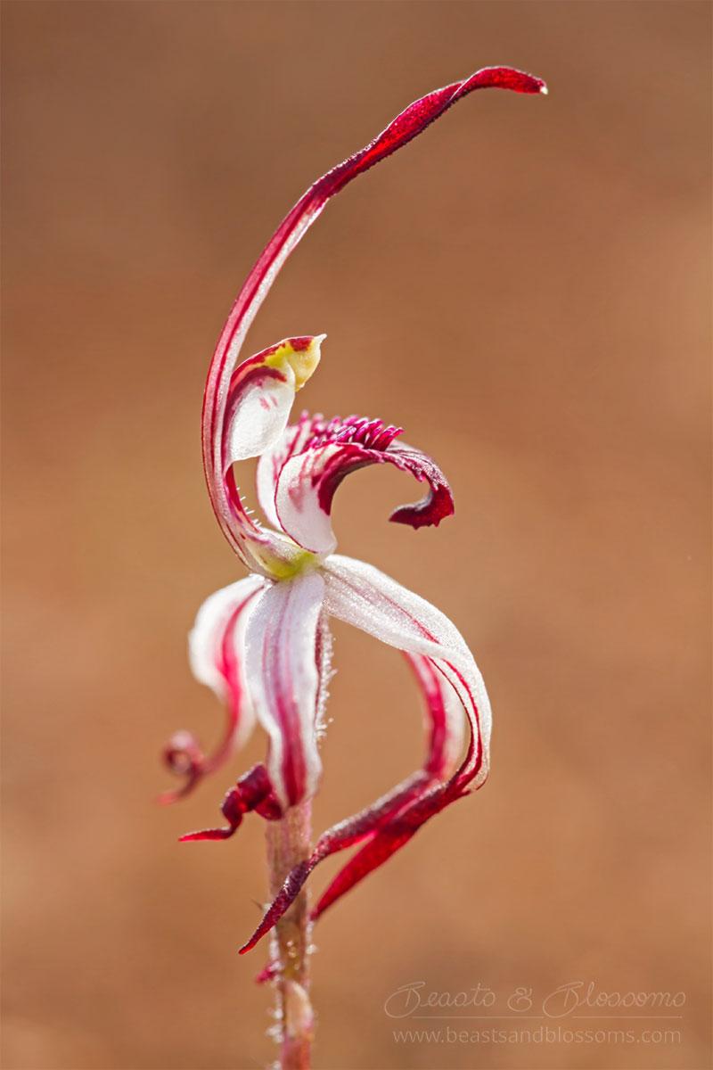 South west WA wildflower: winter spider orchid (Caladenia drummondii)