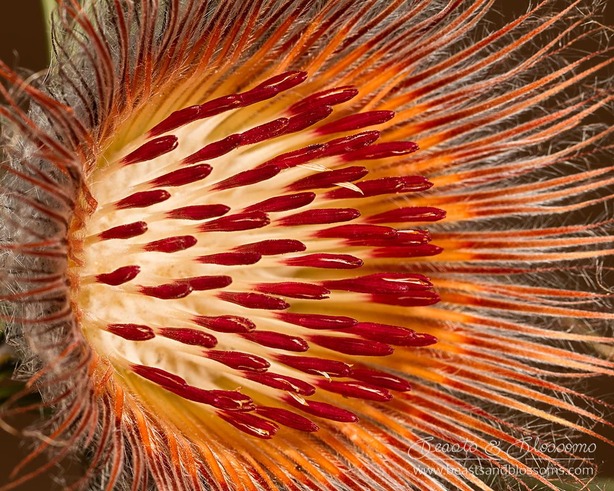 South west WA wildflower: bearded dryandra (Banksia shuttleworthiana)