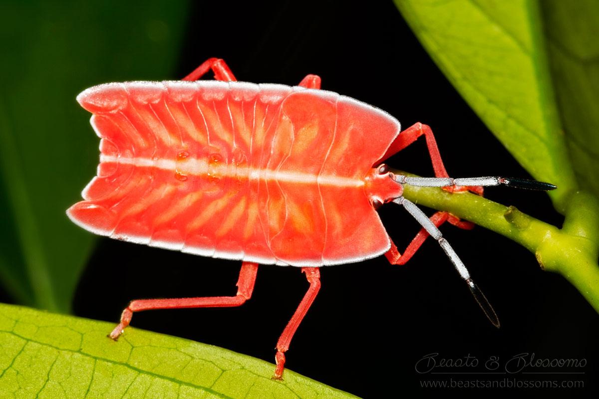 Shield bug nymph (Pycanum rubens), southern Thailand