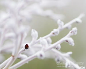South west WA wildflower: common smokebush (Conospermum stoechadis)