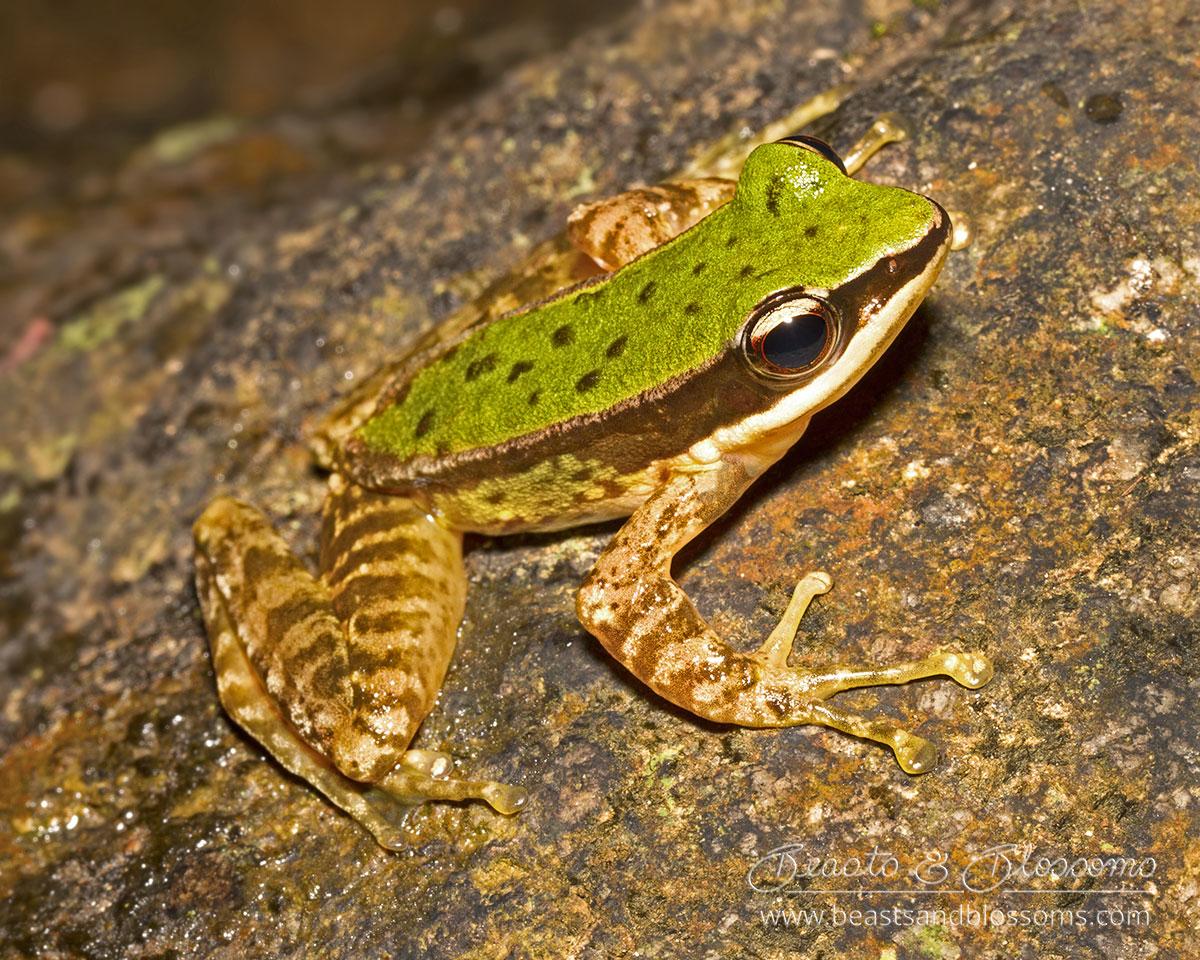 Doi Inthanon rock frog (Amolops archotaphus), northern Thailand