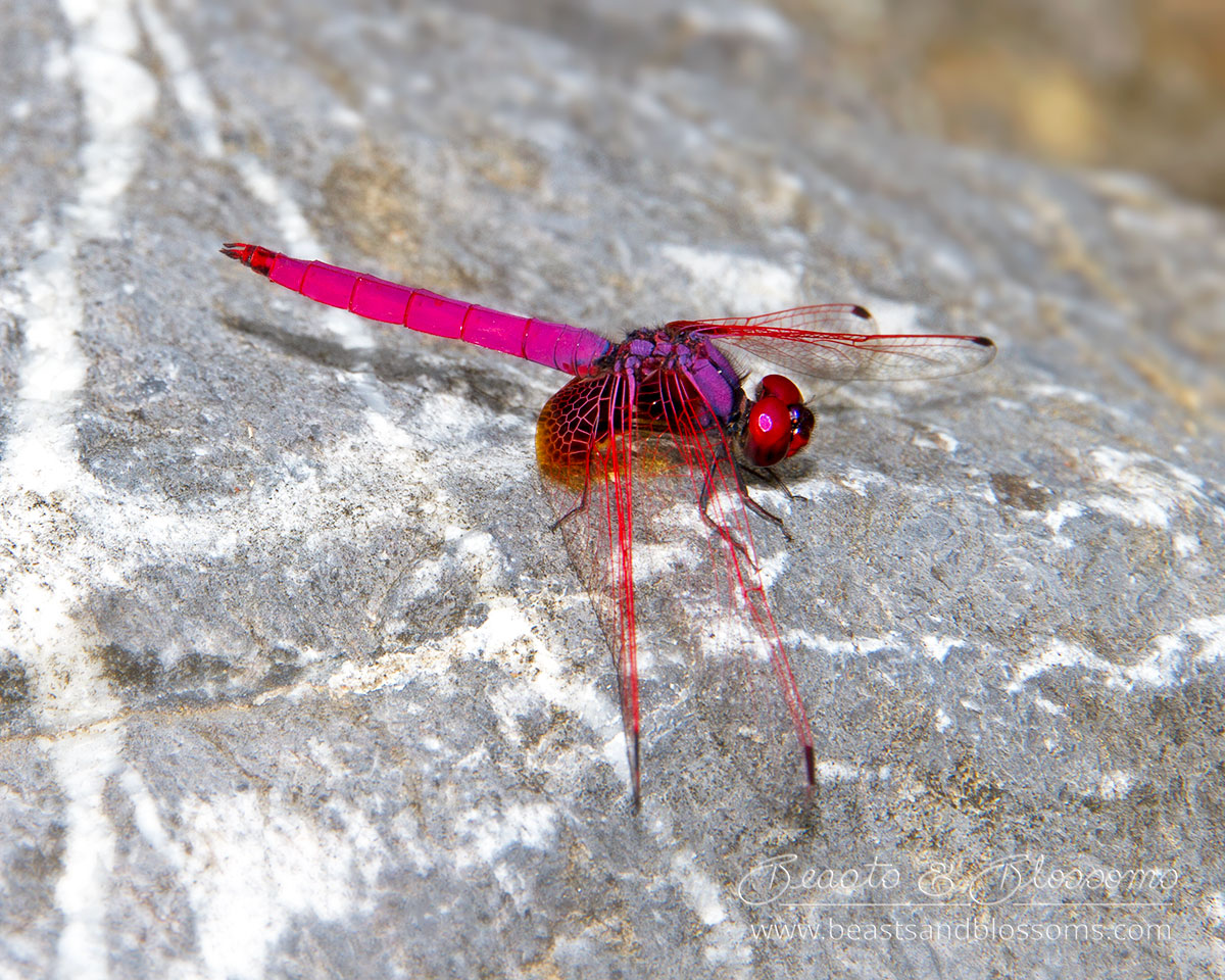 Pink and red dragonfly, Thailand