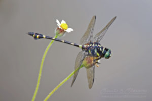 Large dragonfly with black and yellow body, Thailand