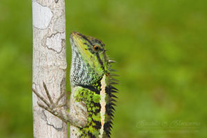 Emma Gray's forest lizard (Calotes emma), southern Thailand