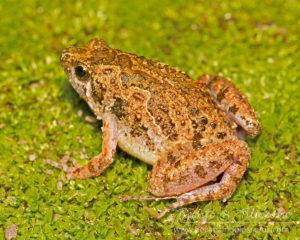 Unidentified frog, northern Thailand