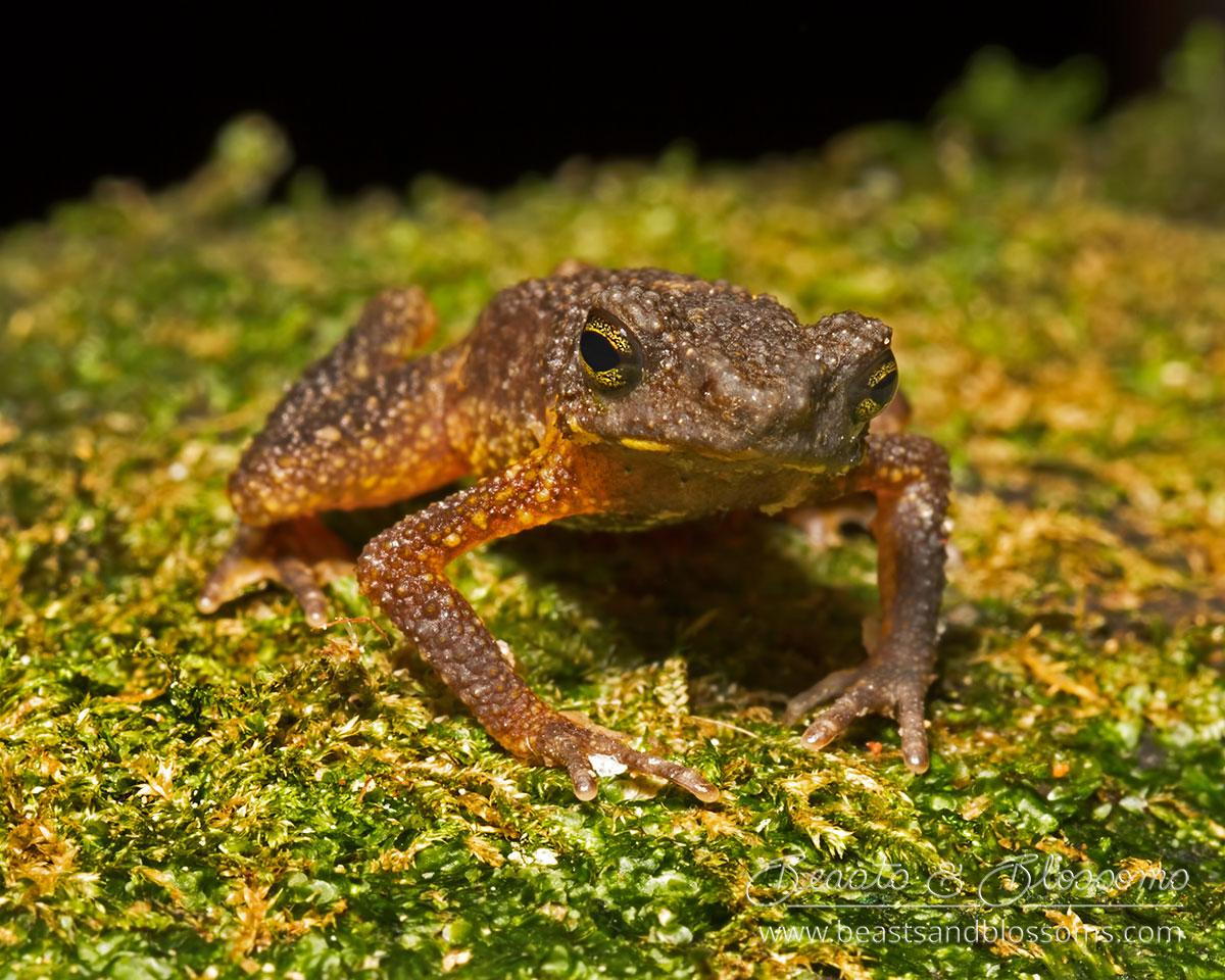 Inthanon stream toad (Ansonia inthanon), northern Thailand