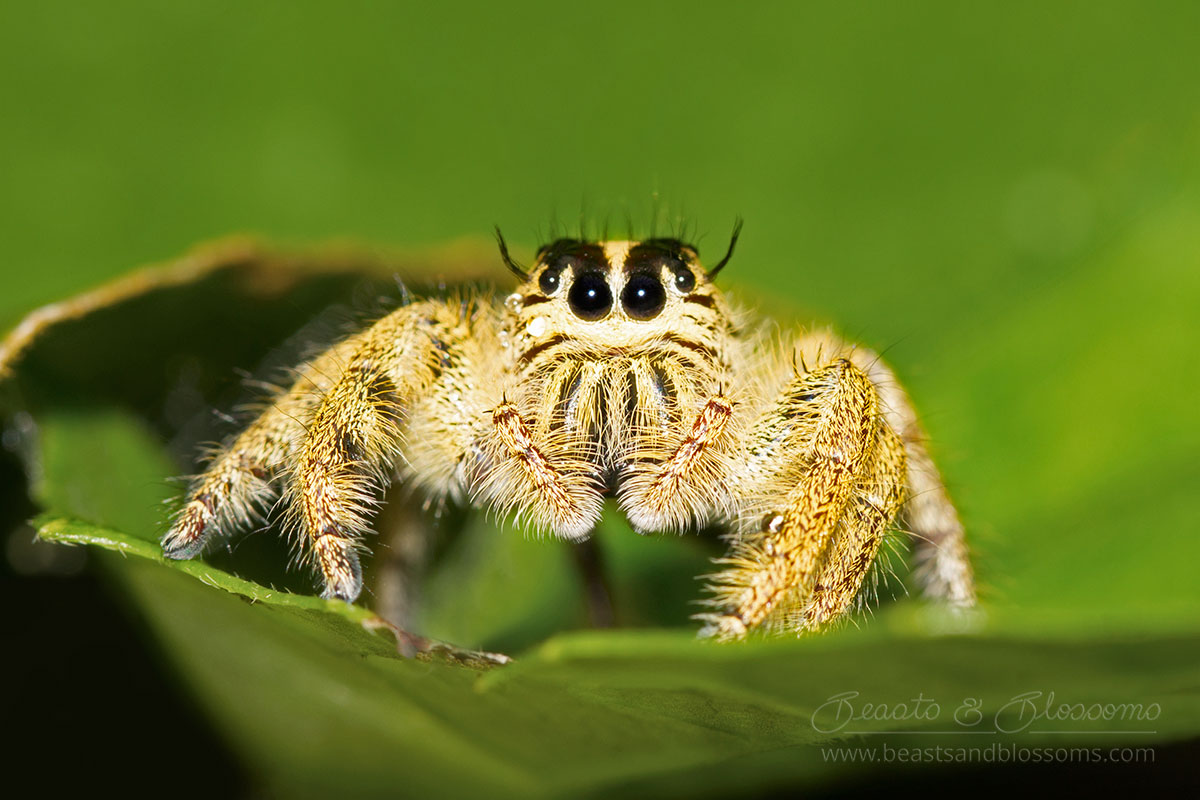 Jumping spider, southern Thailand