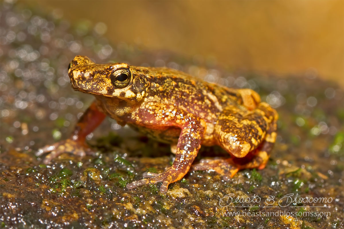 Kra stream toad (Ansonia kraensis), southern Thailand