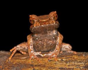 Montane horned frog (Megophrys longipes), southern Thailand