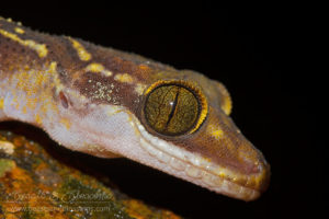 Oldham's bow fingered gecko (Cyrtodactylus oldhami), southern Thailand