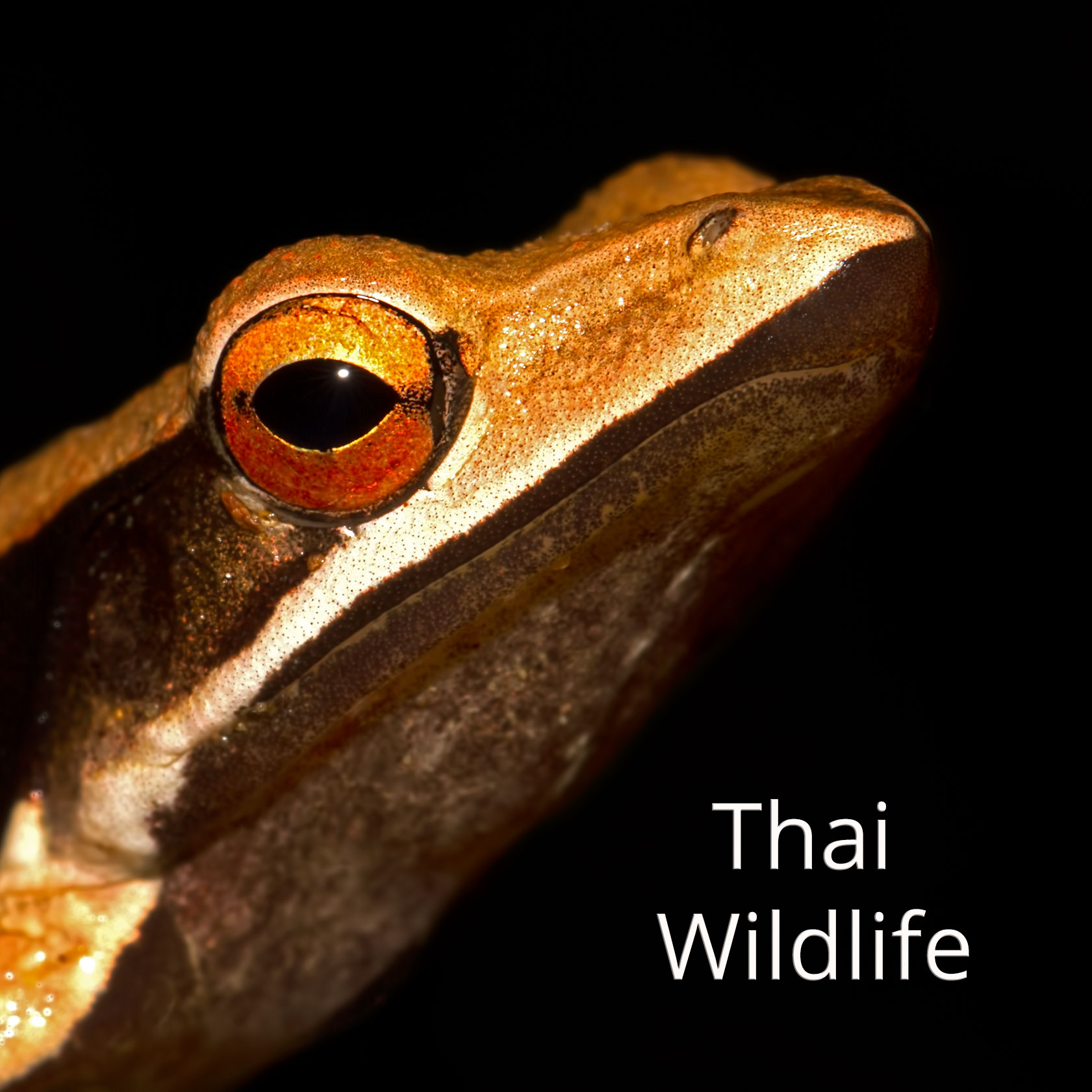 Thai wildlife gallery (image: point-nosed frog, Clinotarsus alticola)