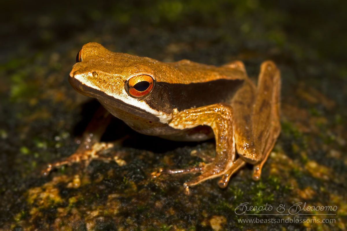 Point-nosed frog (Clinotarsus alticola), southern Thailand