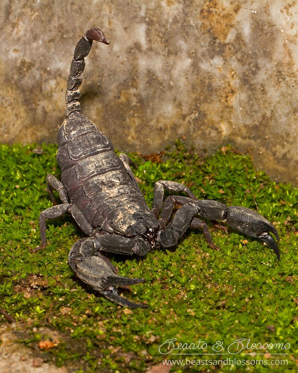 Scorpion (Euscorpiops sp.), northern Thailand
