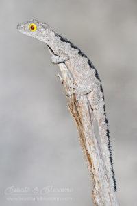 WA wildlife: south-west spiny-tailed gecko (Strophurus spinigerus)