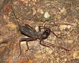 Vinegaroon (whip-scorpion), northern Thailand