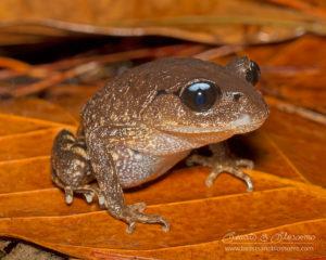 Blue-eyed version of a white-eyed litter frog (Leptobrachium chapaense), northern Thailand