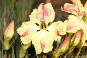 South west WA wildflower: wreath Leschenaultia (Lechenaultia macrantha)