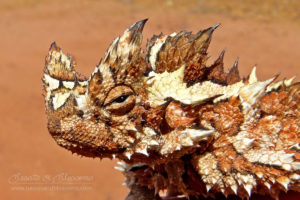 South west WA wildlife: thorny devil (Moloch horridus)