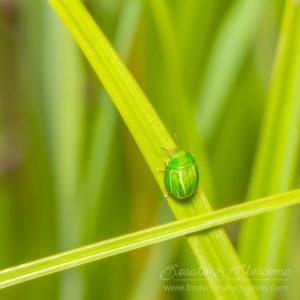 South west WA wildlife: leaf beetle (Chrysomelidae)