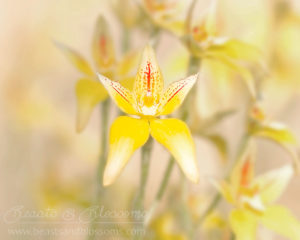 South west WA wildflower: herd of cowslip orchids (Caladenia flava)