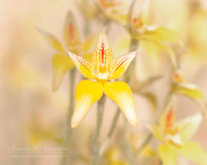 South west WA wildflowers: a herd of cowslip orchids (Caladenia flava)