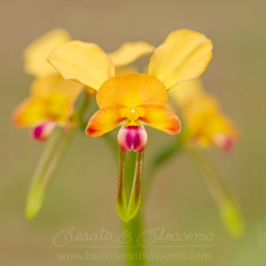 South west WA wildflower: Dunsborough donkey orchid (Diuris sp. 'Dunsborough')