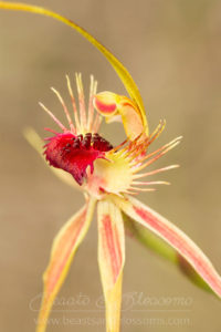 South west WA wildflower: ray spider orchid (Caladenia radiata)