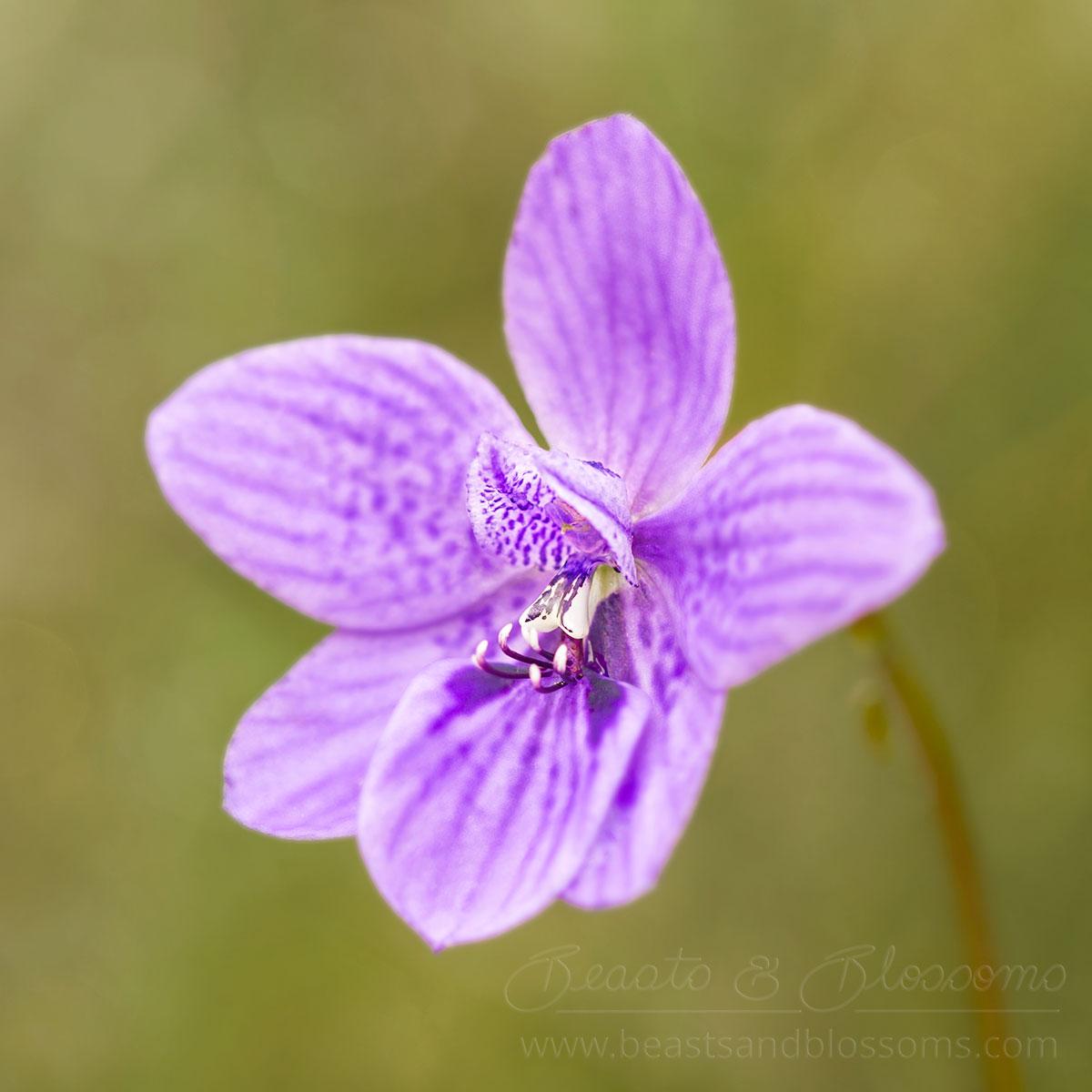 South west WA wildflower: babe-in-a-cradle orchid (Epiblema grandiflorum)