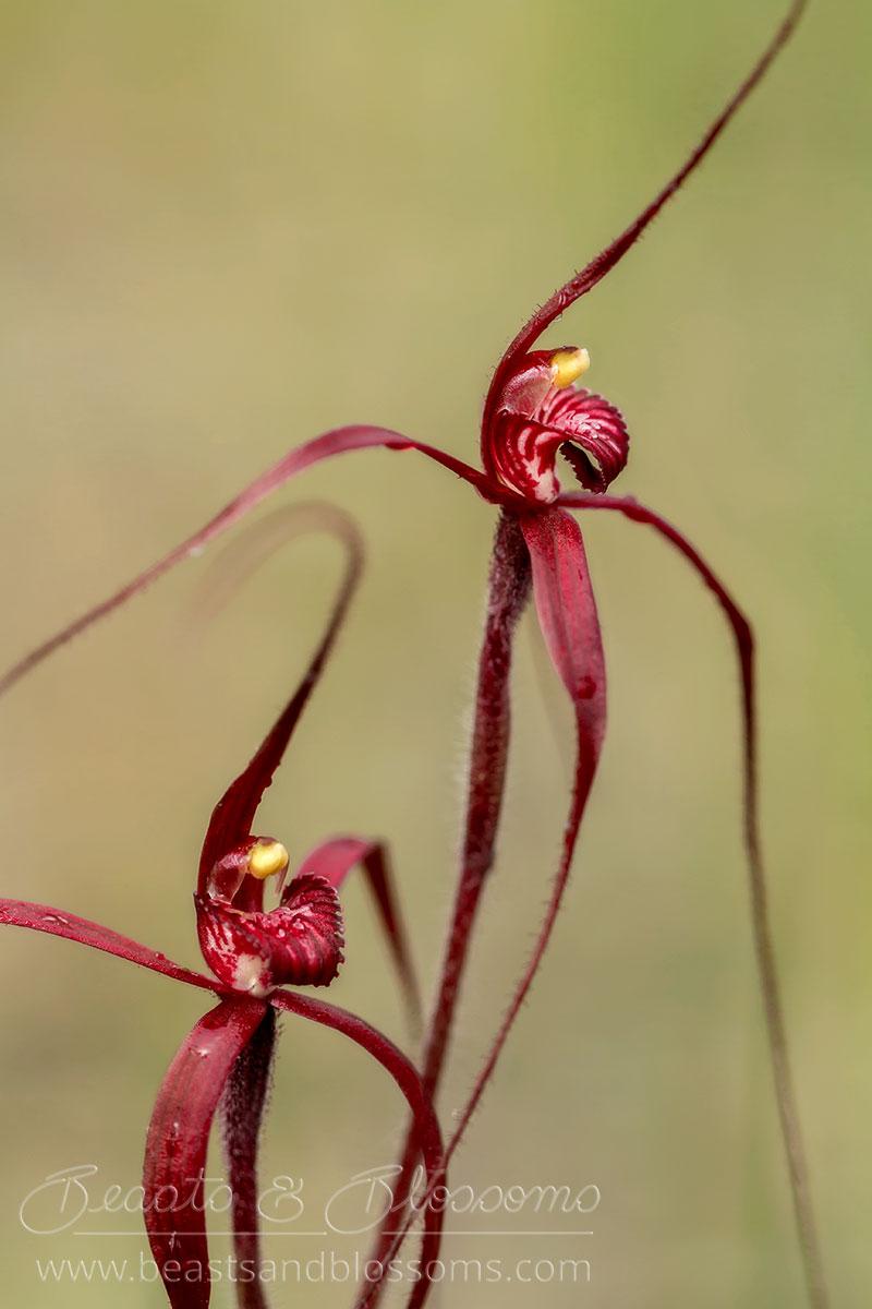 South west WA wildflower: blood spider orchids (Caladenia filifera)