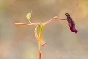 South west WA wildflower: slender hammer orchid (Drakea gracilis)