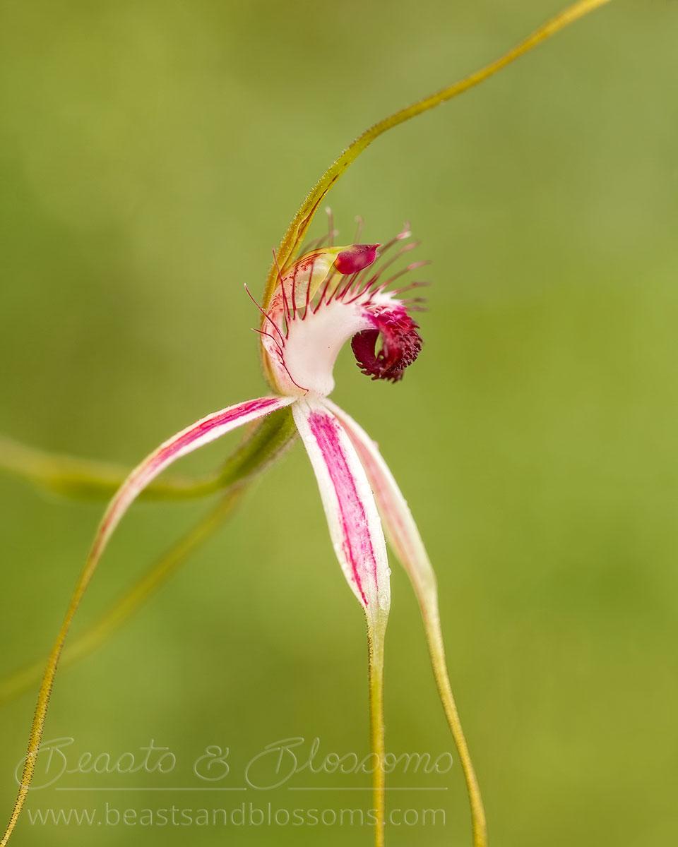 South west WA wildflower: blushing spider orchid (Caladenia lorea)
