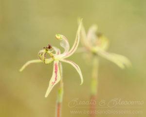 South west WA wildflower: narrow-lipped dragon orchid (Caladenia mesocera)